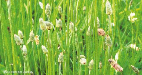 babka lancetowata naturalne zioła lecznicze apteka internetowa naturalnie zdrowi