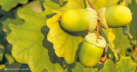 Dąb szypułkowy naturalne zioła lecznicze apteka internetowa naturalnie zdrowi