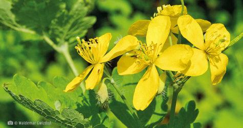 Glistnik jaskółcze ziele naturalne zioła lecznicze apteka internetowa naturalnie zdrowi