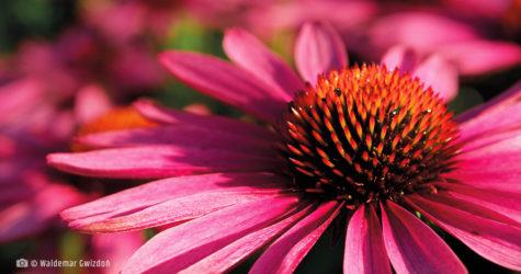 Jeżowka purpurowa - stymuluje odporność organizmu naturalne zioła lecznicze apteka internetowa naturalnie zdrowi
