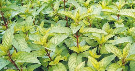 Mięta pieprzowa naturalne zioła lecznicze apteka internetowa naturalnie zdrowi