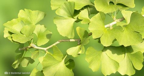 milorzab japonski naturalne zioła lecznicze apteka internetowa naturalnie zdrowi