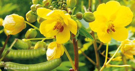 senes aleksandryjski naturalne zioła lecznicze apteka internetowa naturalnie zdrowi