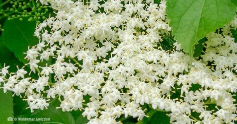 Bez czarny - kwiat naturalne zioła lecznicze apteka internetowa naturalnie zdrowi