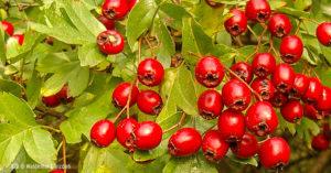 Głóg - owoce