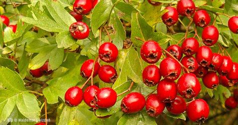 Głóg - owoce naturalne zioła lecznicze apteka internetowa naturalnie zdrowi